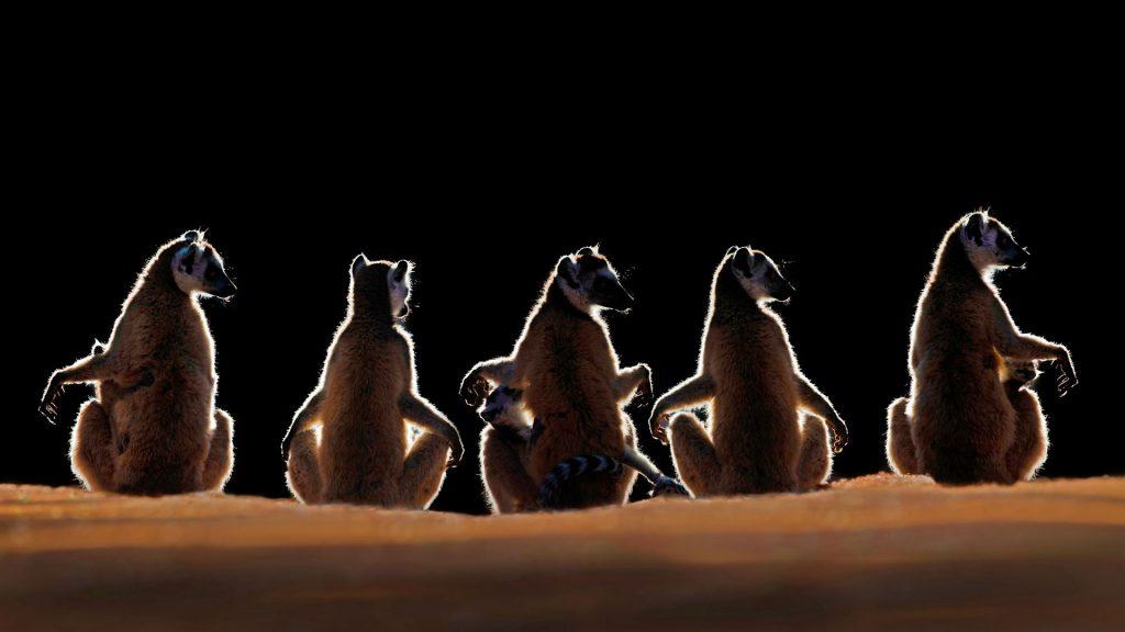 Madagascar Lemurs