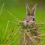 Nesting Rabbit