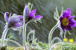 Pulsatilla Vulgaris In Rain