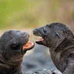 Pups Play Galapagos