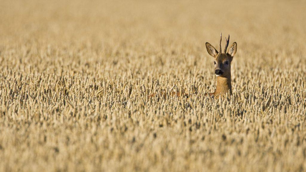 Roe Deer Field