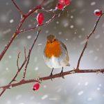 Rosehip Robin