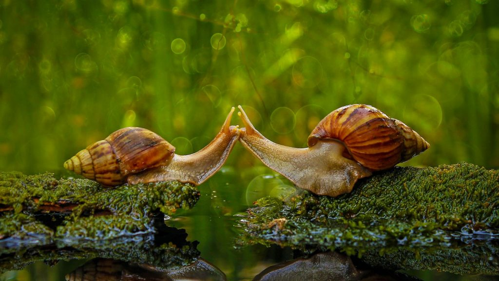 Snails Kissing