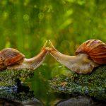 Snails Kissing