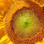 Sonnenblume Hummel