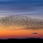 Starlings BF