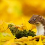 Weasel Autumn