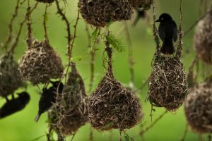 Africa Weaverbirds