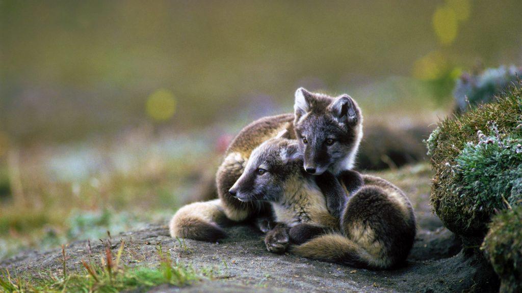 Arctic Fox Sibs