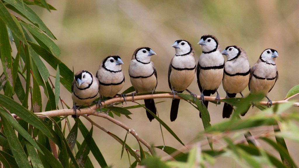 Barred Finches
