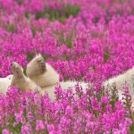 Bear Fireweed