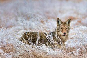 Calev Coyote