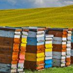 Canola Beehives