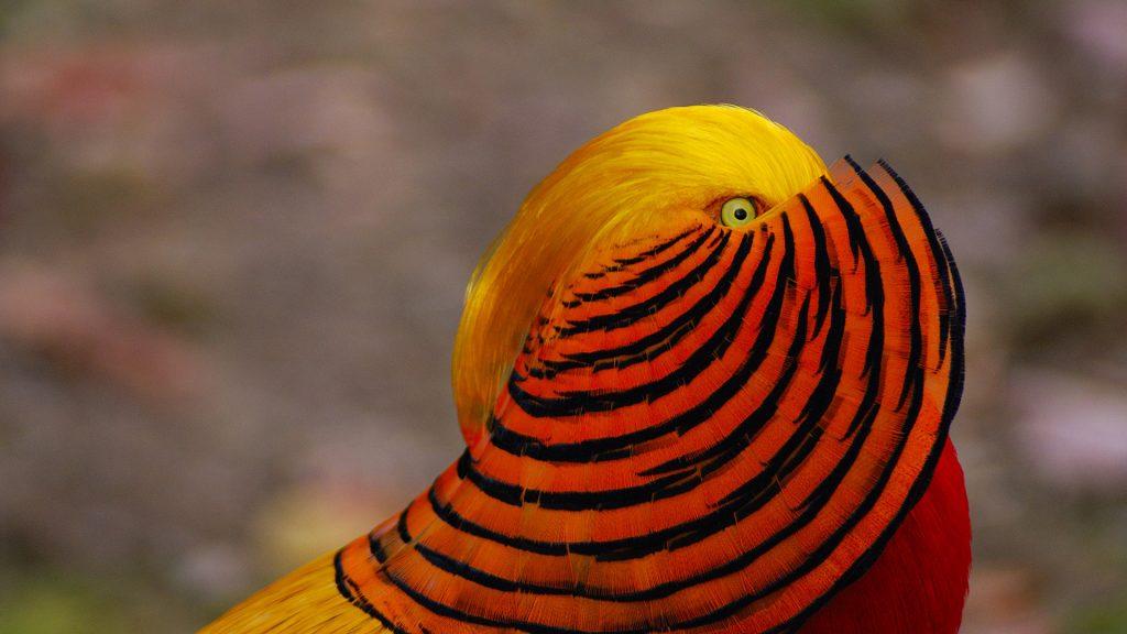 Chinese Golden Pheasant