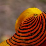 Chinese Golden Pheasant