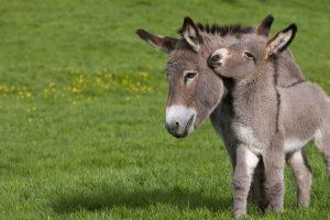 Cotentin Donkeys