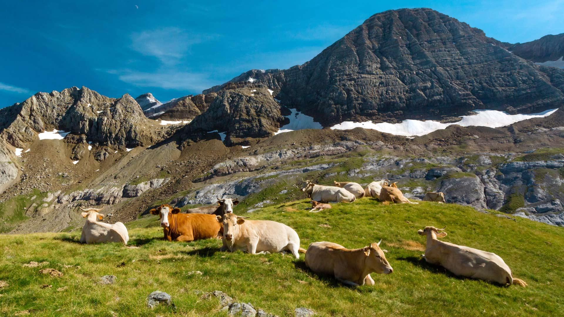 Cows Col Des Tentes