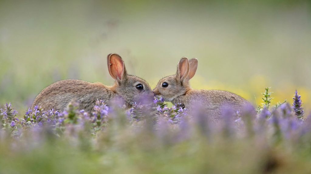 European Rabbit Greeting