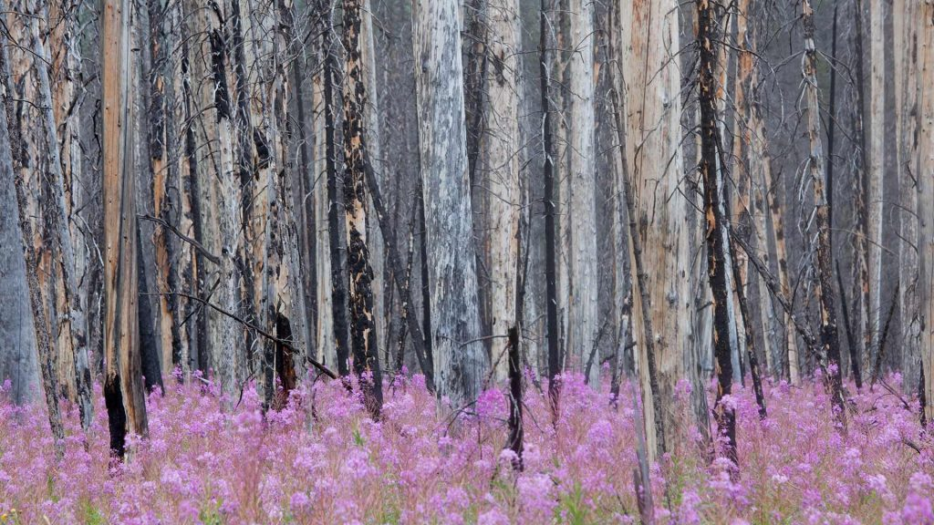 Fireweed Forest