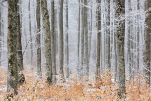 Frosted Forest Cevennes