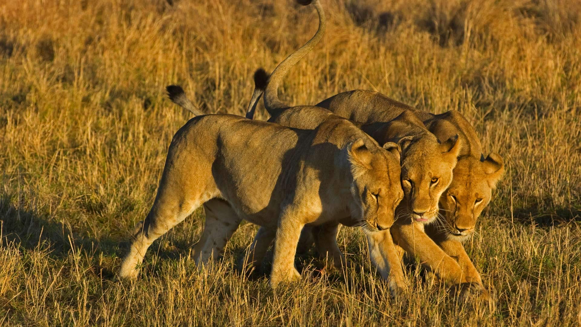 GF Lions