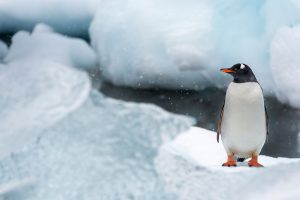 Gentoo Penguin Video