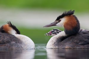 Grebes Chick