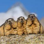 Grossglockner Marmots