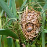Harvest Mouse FR