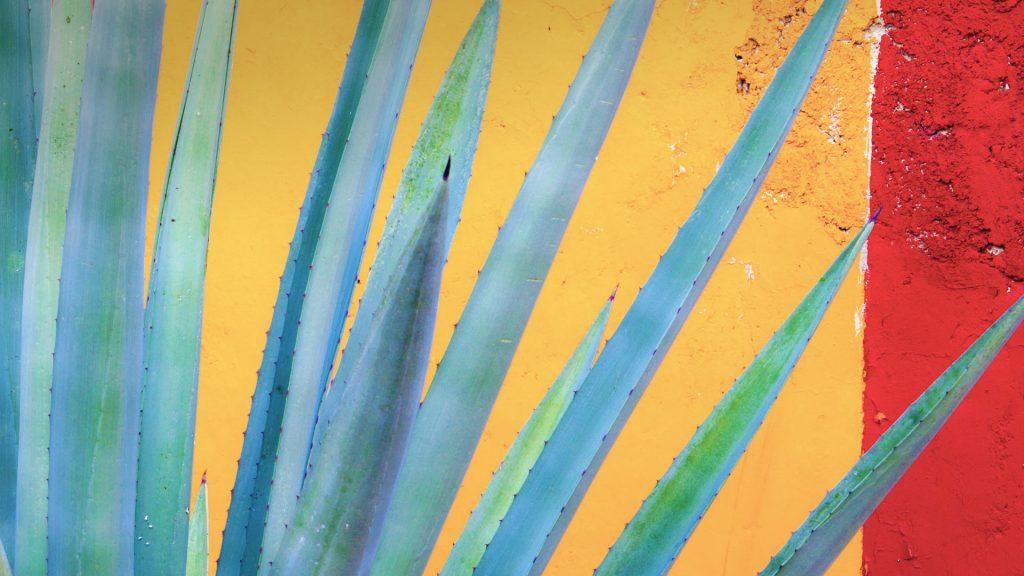 Henequen Cactus