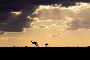 Kangaroo Dusk