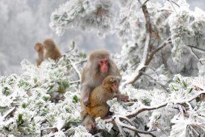 Macaques Wulingyuan