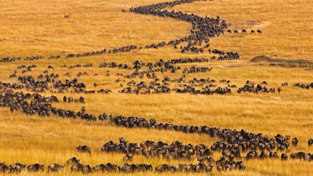 Masai Wildebeest