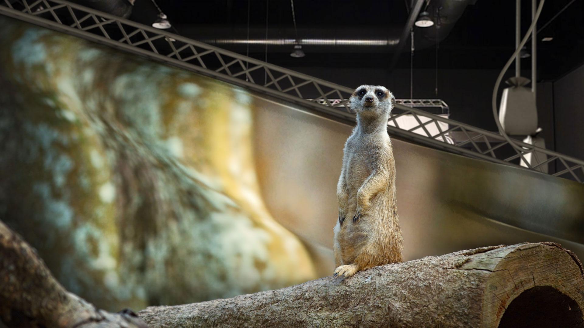 Meerkat Amuck
