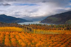 Mosier Cherry Orchards