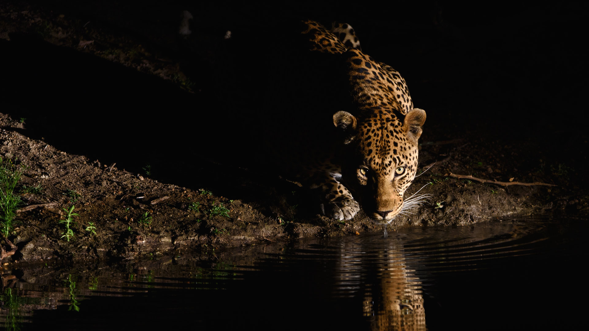Night Leopard