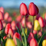Ottawa Tulips2