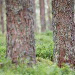Pine Marten Scotland