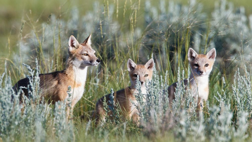 Prairies Fox