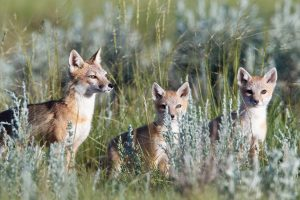 Prairies Fox