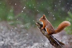 Scottish Squirrel