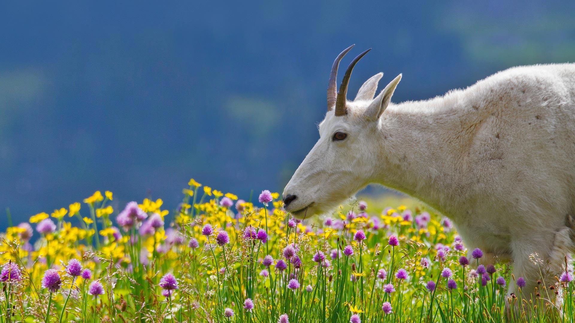 Spring Goat