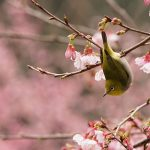 Ting Sakura