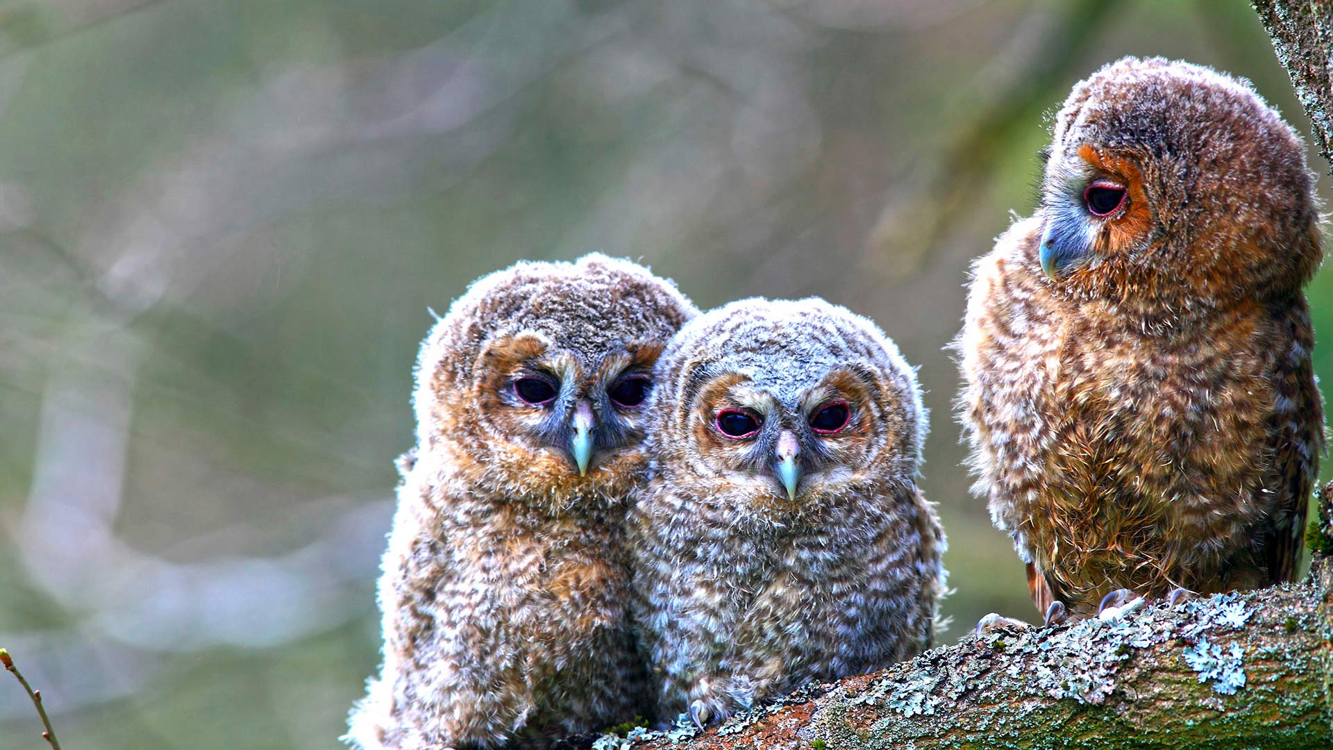 Young Tawny Owls