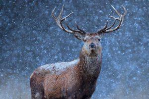 Belarus Deer
