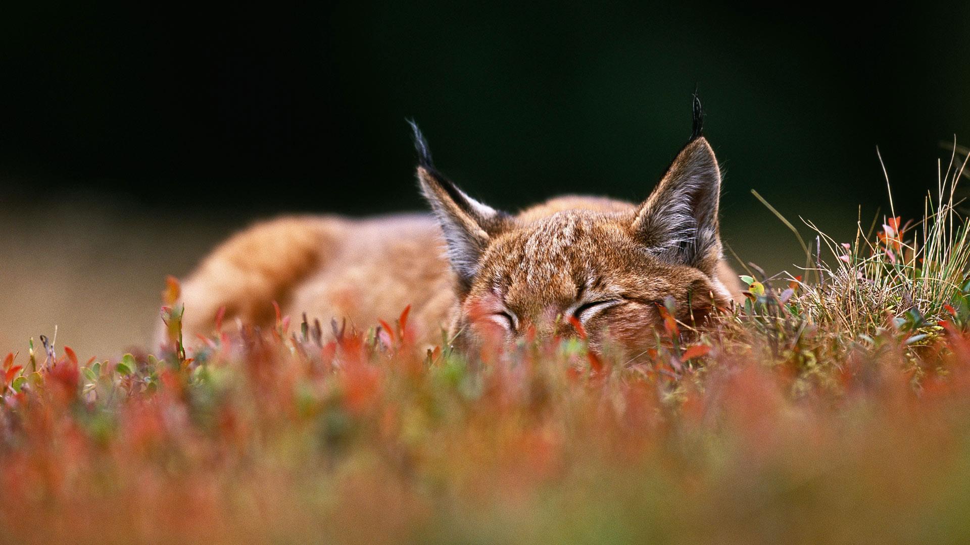Bilberry Lynx