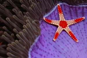 Candy Cane Sea Star