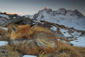 Fox Close Up Alps