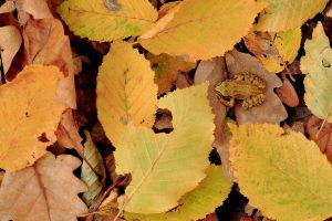 Frog Autumn Leaf