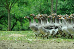 Geese Dordogne